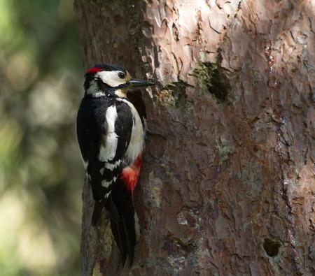 Hairy woodpecker, picoides villosus next to its hole nest photo