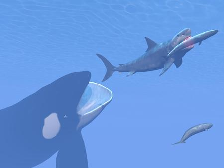 Killer whale attacking small megalodon shark eating blue one - 3D render Banque d'images