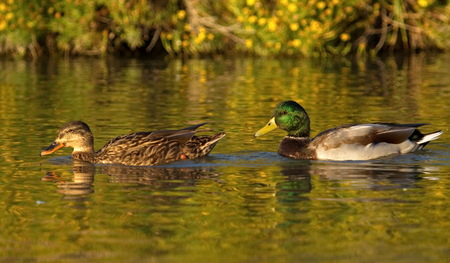 Mallard or wild duck couple, anas platyrhynchos