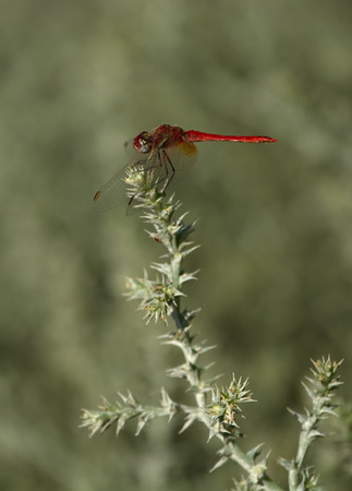 sympetrum: Immature ruddy darter, sympetrum sanguineum, in Camargue, France Stock Photo