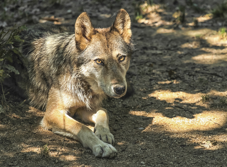 canis: Gray, timber or western wolf, canis lupus