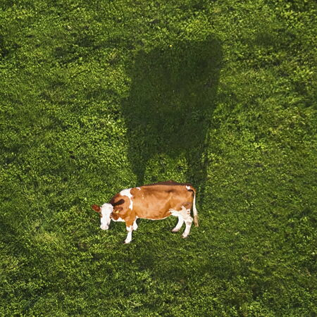 holstein cow: Holstein cow and its big shadow in a meadow viewed from the sky