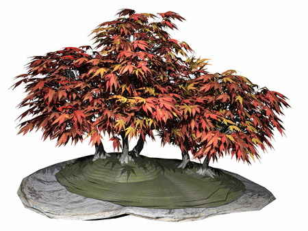 japanese maple: Japanese maple tree bonsai - 3D render Stock Photo