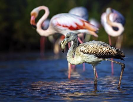 phoenicopterus: Young greater flamingo, phoenicopterus roseus, Camargue, France Stock Photo
