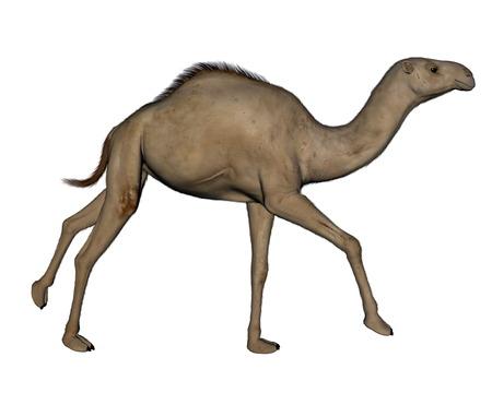 running camel: Camel running - 3D render