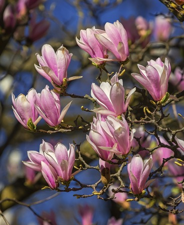 cylindrica: Huangshan, magnolia cylindrica, flowers