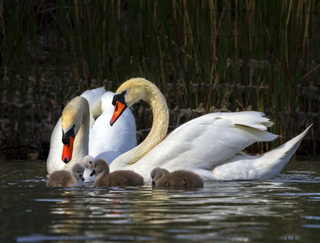 Mute swan, cygnus olor, parents and babies Imagens