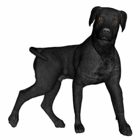black labrador: Black labrador dog standing - 3D render