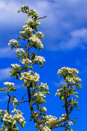 communis: European or common pear, pyrus communis, flowers