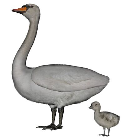 Mute swan, cygnus olor, mother and baby isolated in white background - 3D render Stock Photo