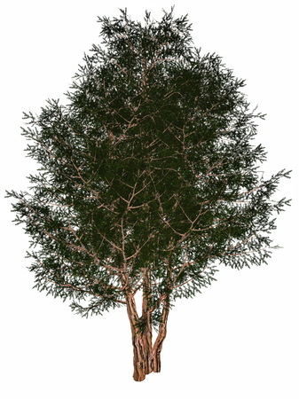English or European yew, taxus baccata tree isolated in white background - 3D render