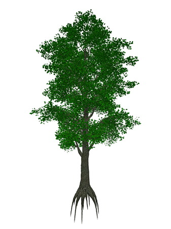 tilia: Small-leaved lime or little-leaf linden, tilia cordata tree isolated in white background - 3D render Stock Photo