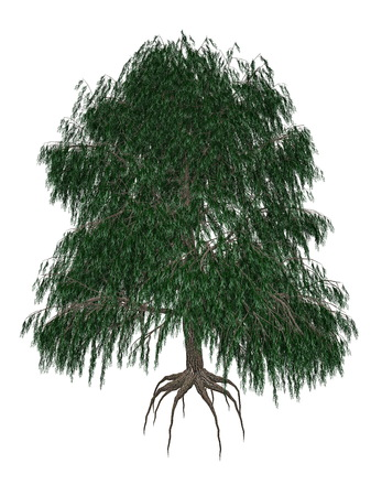 salix: Babylon or weeping willow, salix babylonica tree isolated in white background - 3D render Stock Photo