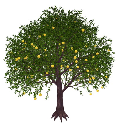 grapefruits: Grapefruit, citrus paradisi, tree isolated in white background - 3D render