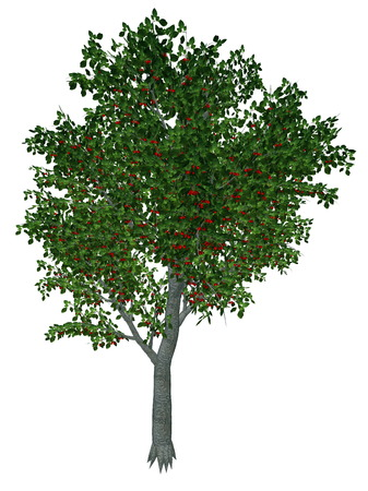 Sweet or wild cherry, prunus avium, tree isolated in white background - 3D render