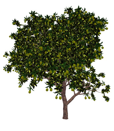 indica: Mango, mangifera indica, tree isolated in white background - 3D render