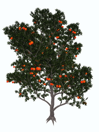 punica granatum: Pomegranate, punica granatum, tree isolated in white background - 3D render