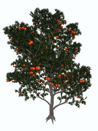 granatum: Pomegranate, punica granatum, tree isolated in white background - 3D render