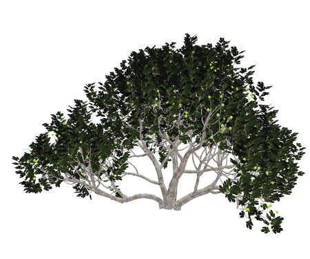 fig leaf: Fig, ficus carica, tree isolated in white background - 3D render Stock Photo