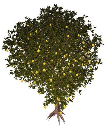 fruit tree: Lemon, citrus limon, tree isolated in white background - 3D render