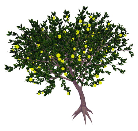isolated tree: Mexican or key lime, citrus aurantifolia, tree isolated in white background - 3D render