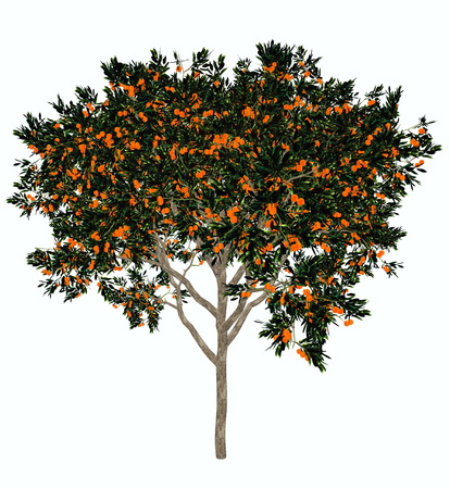 citrus tree: Sweet orange, citrus sinensis, tree isolated in white background - 3D render