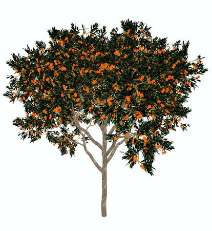 orange trees: Sweet orange, citrus sinensis, tree isolated in white background - 3D render