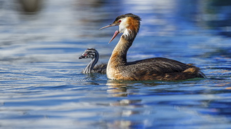 crested duck: Crested grebe duck, podiceps cristatus, and baby floating on water lake Stock Photo