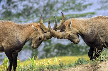 herbivore natural: Young male wild alpine ibex, capra ibex, or steinbock fighting in Alps mountain, France