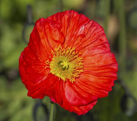 papaver: Closeup on beautiful red papaver flower in nature