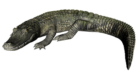 caiman: Quiet caiman isolated in white background - 3D render