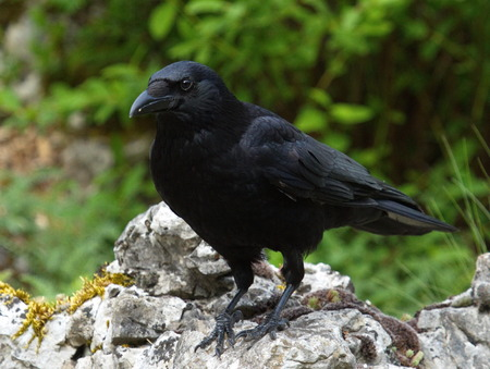 carrion: Beautiful black carrion crow, corvus corone, standing on a rock