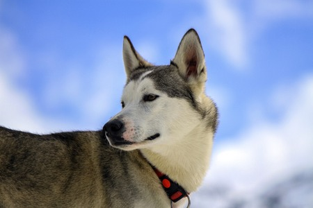 blue grey coat: Siberian husky dog wearing red necklace portrait and cloudy sky background Stock Photo