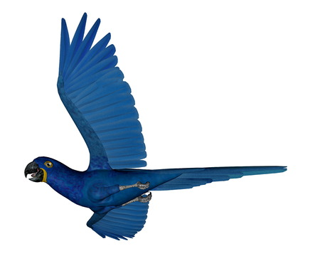 macaw parrot: Hyacinth macaw, parrot, flying isolated in white background - 3D render