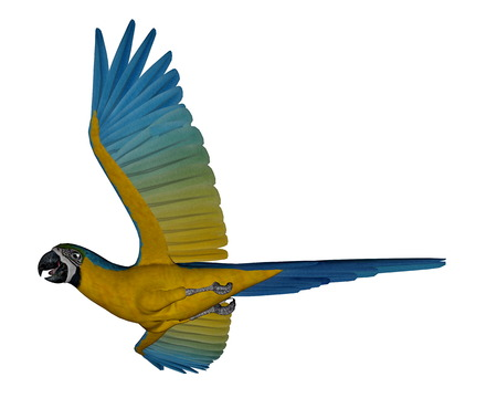 macaw parrot: Blue and yellow macaw, parrot, flying isolated in white background - 3D render Stock Photo