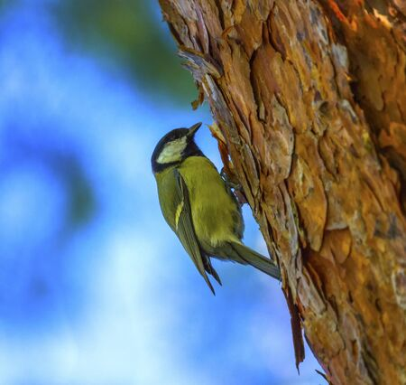 major: Great tit, parus major, standing on a trunk