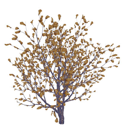 africana: African boxwood tree, myrsine africana isolated in white background - 3D render Stock Photo