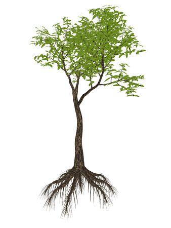 arrow poison: Arrow poison tree, acokanthera venenata isolated in white background - 3D render