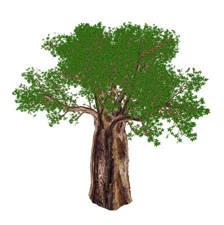 digitata: Baobab tree, adansonia digitata, isolated in white background - 3D render