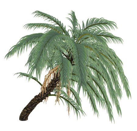 date palm: Wild or Senegal date palm tree, phoenix reclinata isolated in white background - 3D render