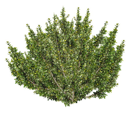 boxwood: African boxwood tree, myrsine africana isolated in white background - 3D render Stock Photo