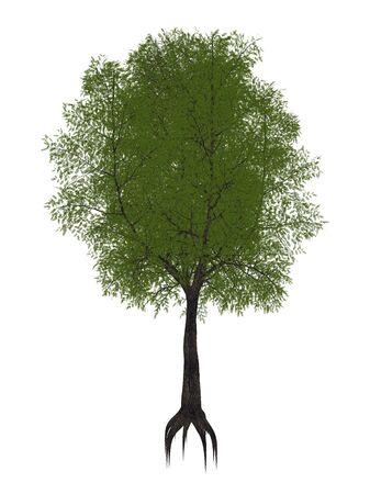 indica: Tamarindtree , tamarindus indica isolated in white background - 3D render
