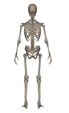 rearview: Rearview of human skeleton isolated in white background - 3D render Stock Photo