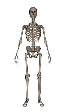 frontview: Frontview of human skeleton isolated in white background - 3D render Stock Photo