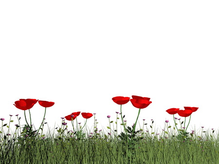 poppies: Poppies isolated in white background - 3D render