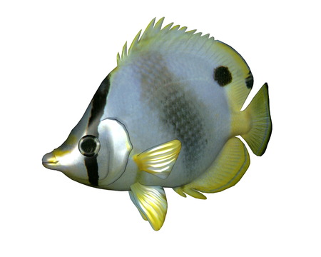butterflyfish: Butterflyfish isolated in white background - 3D render Stock Photo