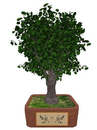 bonsai: Gingko biloba tree bonsai isolated in white background - 3D render