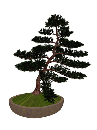 hinoki: Hinoki false cypress, chamaecyparis obtusa, tree bonsai isolated in white background - 3D render