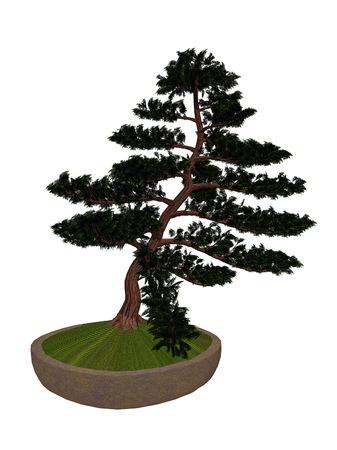cypress tree: Hinoki false cypress, chamaecyparis obtusa, tree bonsai isolated in white background - 3D render
