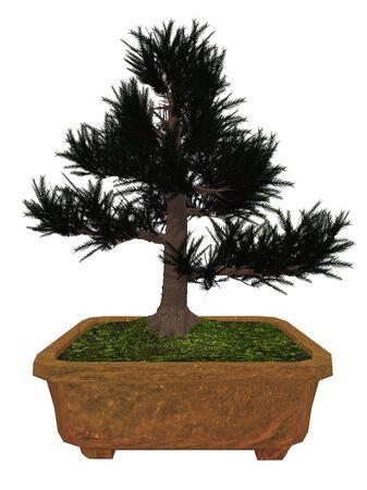 japenese: Japenese cedar, cryptomeria japonica, tree bonsai isolated in white background - 3D render